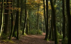 Картинка осень, лес, свет, деревья, ветки, природа, аллея, тропинка