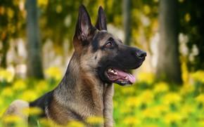 Картинка фон, друг, собака, профиль, овчарка