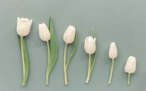 Картинка цветы, фон, Тюльпаны, бутоны