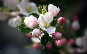 Картинка весна, Цветок, яблуння