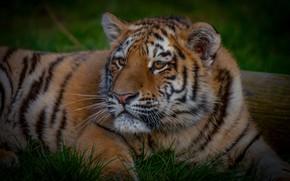 Картинка лето, трава, взгляд, морда, природа, тигр, поза, лежит, дикая кошка, тигренок, молодой, тигрёнок, подросток