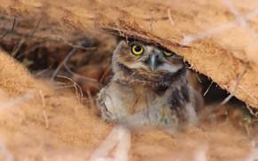 Картинка сова, птица, укрытие, боке, сыч