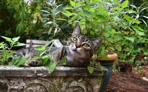 Картинка кошка, лето, кот, взгляд, морда, листья, сад, клумба, вазон