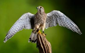Картинка птица, крылья, хищник, пустельга