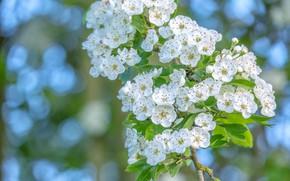 Картинка листья, цветы, ветка, весна, белые, цветение, боке, боярышник