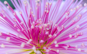 Картинка цветок, лепестки, Япония, хризантема