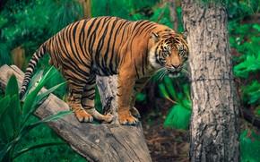 Картинка зелень, тигр, фон
