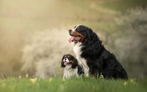 Картинка природа, фон, собака, щенок, мама, бернский зенненхунд