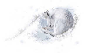 Картинка зима, белый, снег, фон, заяц, свернулся клубочком