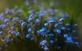 Картинка цветы, голубые, боке, незабудки