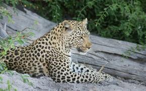 Картинка морда, хищник, леопард, лежит