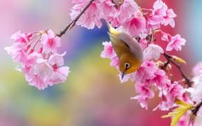 Картинка цветы, птица, ветка, сакура, ярко, птичка, розовый фон, цветение, желтая, японская белоглазка