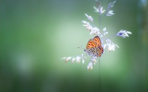 Картинка бабочка, растение, butterfly, боке