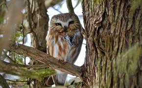Картинка природа, дерево, сова, птица, ветка, боке, Northern Saw-whet Owl