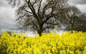 Картинка деревья, цветы, тучи, природа, весна, жёлтые, рапс