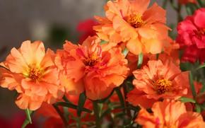 Картинка цветы, яркие, букет, оранжевые, боке