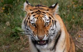 Картинка взгляд, морда, тигр, портрет, оскал