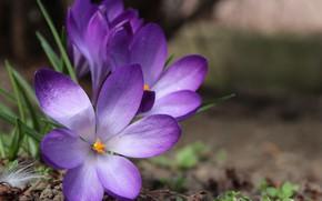 Картинка фото, Цветы, Фиолетовый, Крокусы