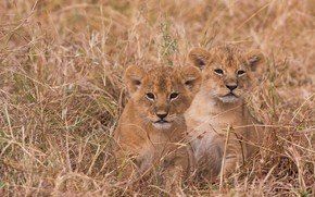 Картинка трава, котята, львята, парочка, детёныши