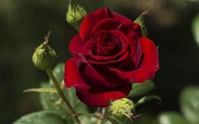 Картинка цветок, фон, роза, красная, бутоны, одна, темно-красная