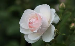 Картинка макро, нежность, роза, лепестки