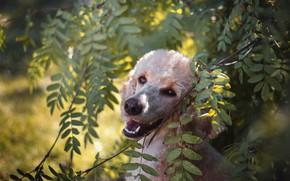 Картинка взгляд, морда, листья, свет, ветки, природа, портрет, собака, пудель
