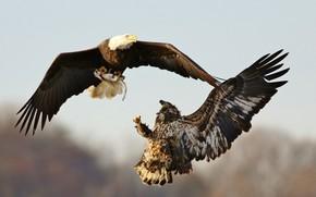 Картинка небо, полет, птицы, орел, крылья, хищники, рыба, бой, когти, орёл, битва, орлы, два, добыча, летят, ...
