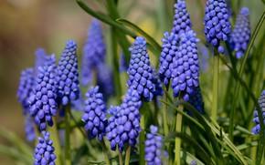Картинка цветы, фон, весна, мускари