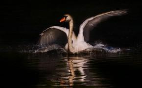 Картинка белый, птица, крылья, лебедь, черный фон, водоем, взмах, фотоарт