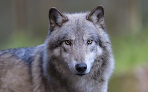 Картинка взгляд, морда, серый, волк, портрет