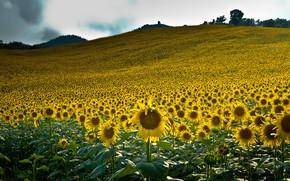 Картинка поле, лето, небо, облака, подсолнухи, пейзаж, цветы, горы, природа, холмы, желтые, склон, холм, простор, много, …