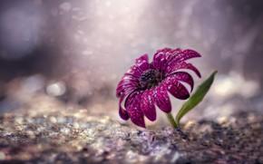 Картинка цветок, фиолетовый, вода, капли, брызги, фон, один, листок, боке, размытый, остеоспермум