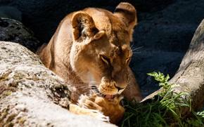 Картинка язык, морда, свет, поза, камни, бревно, львица, зоопарк, вылизывается