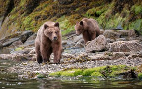 Картинка природа, река, камни, берег, мох, медведи, боке, бурые