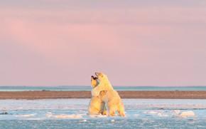 Картинка зима, белый, снег, природа, поза, берег, игра, утро, медведь, медведи, объятия, пара, белый медведь, мишки, …