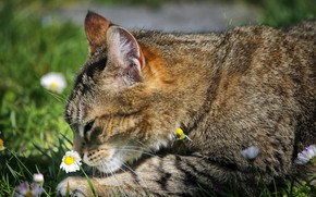 Картинка нюхает, полосатая кошка, маргаритки, лежит на земле