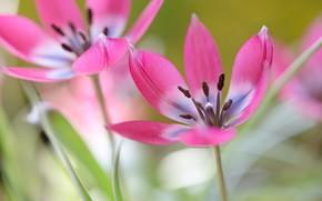 Картинка цветы, фон, тюльпаны, тычинки, лепестки, розовые, весна, раскрытые