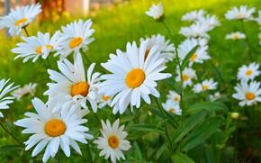 Картинка Ромашки, Flowers, Camomiles