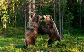 Картинка зелень, лес, лето, взгляд, свет, деревья, зеленый, фон, стволы, поляна, борьба, лапы, медведь, медведи, драка, …