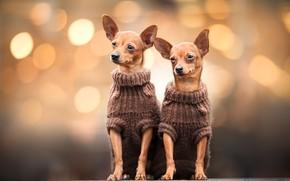 Картинка собаки, фон, две, парочка, дуэт, чихуахуа, собачки, боке, сидят, малышки, мордашки