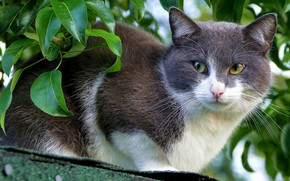 Картинка крыша, кошка, кот, взгляд, морда, листья, фон, портрет, зеленые глаза, серая с белым