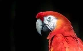 Картинка взгляд, красный, птица, портрет, попугай, черный фон, ара