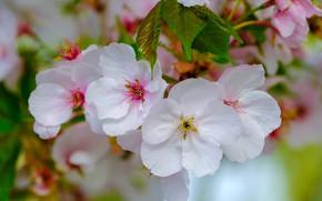 Картинка весна, лепестки, яблоня, цветение