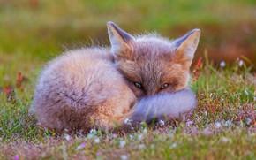 Картинка трава, глаза, взгляд, морда, цветы, природа, поза, зеленый, фон, поляна, малыш, рыжий, лиса, хвост, лежит, …
