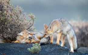 Картинка природа, звери, койоты