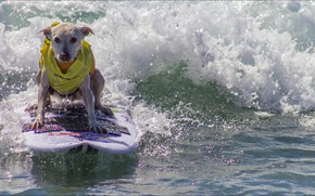Картинка собака, Животные, сёрфинг
