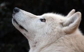 Картинка белый, волк, шерсть