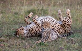 Картинка трава, поза, котенок, поляна, малыш, гепард, лежит, детеныш, мама, гепарды