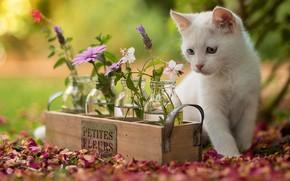 Картинка кошка, белый, взгляд, цветы, природа, котенок, фон, лепестки, баночки, котёнок, ящик, цветочки, сидит, разные глаза, …