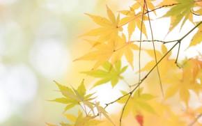 Картинка осень, веточка, жёлтые листья